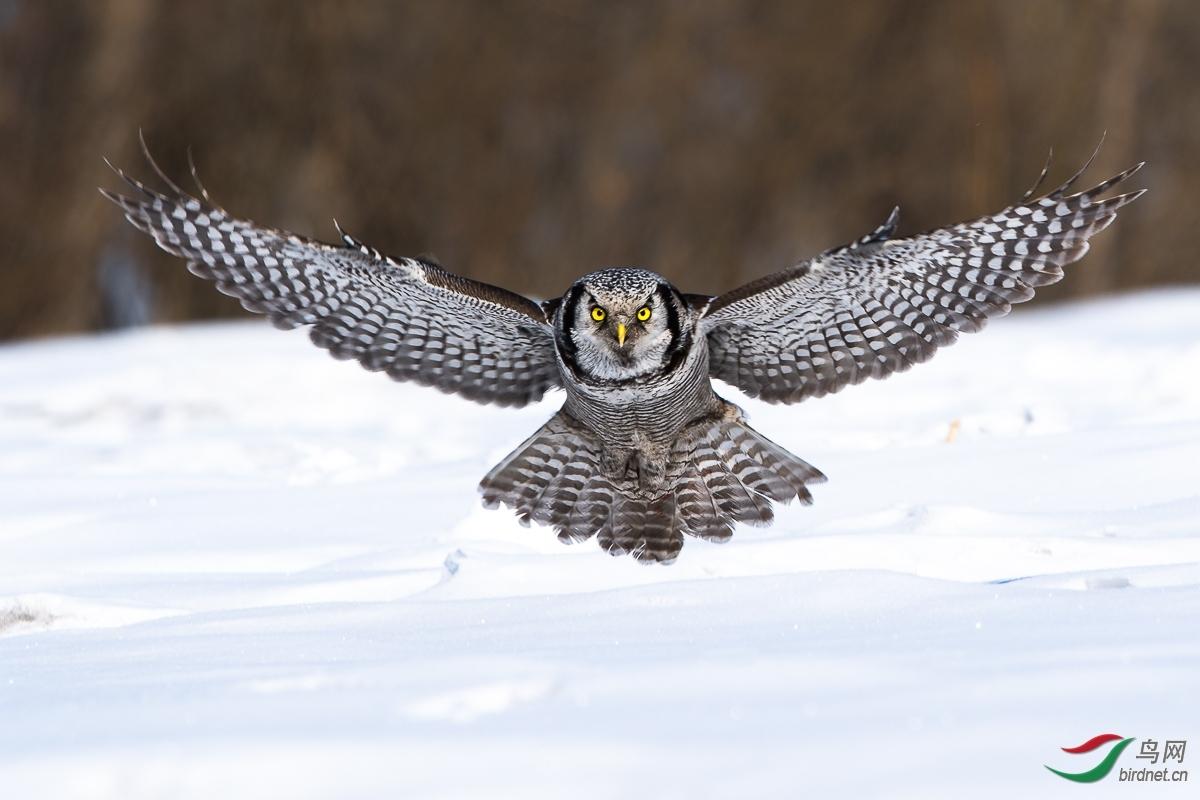 180.鸟已飞过 猛鸮.jpg