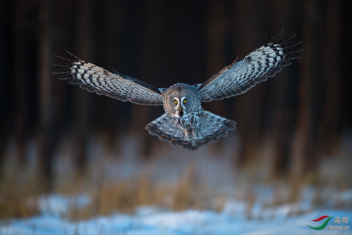183.鸟已飞过 乌林鸮 一图.jpg
