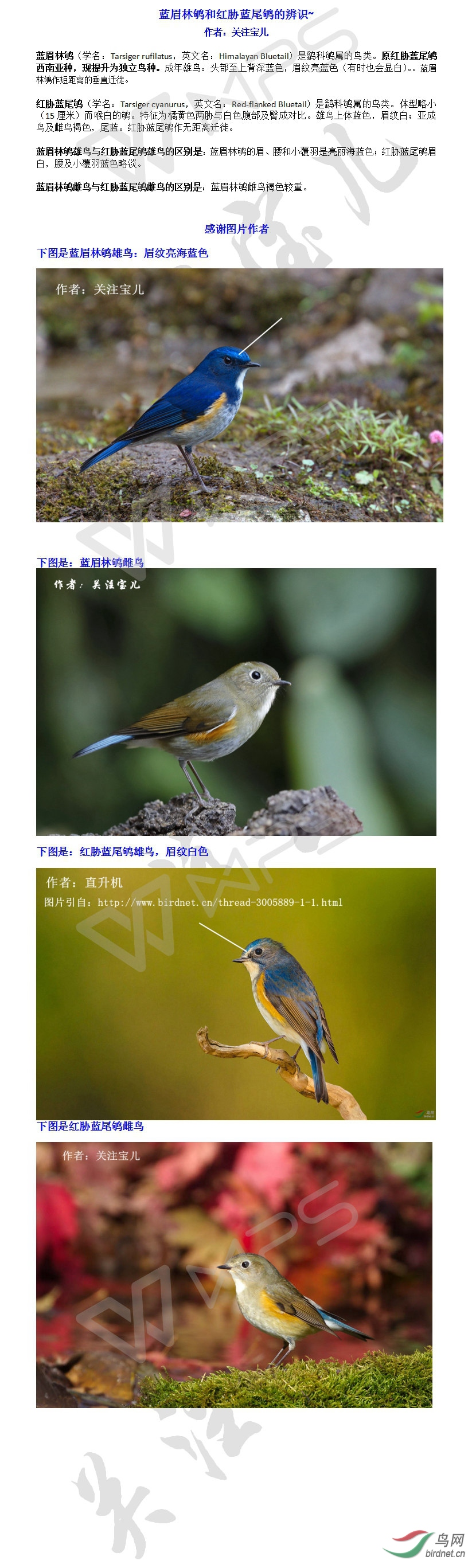 蓝眉林鸲和红胁蓝尾鸲的辨识.jpg
