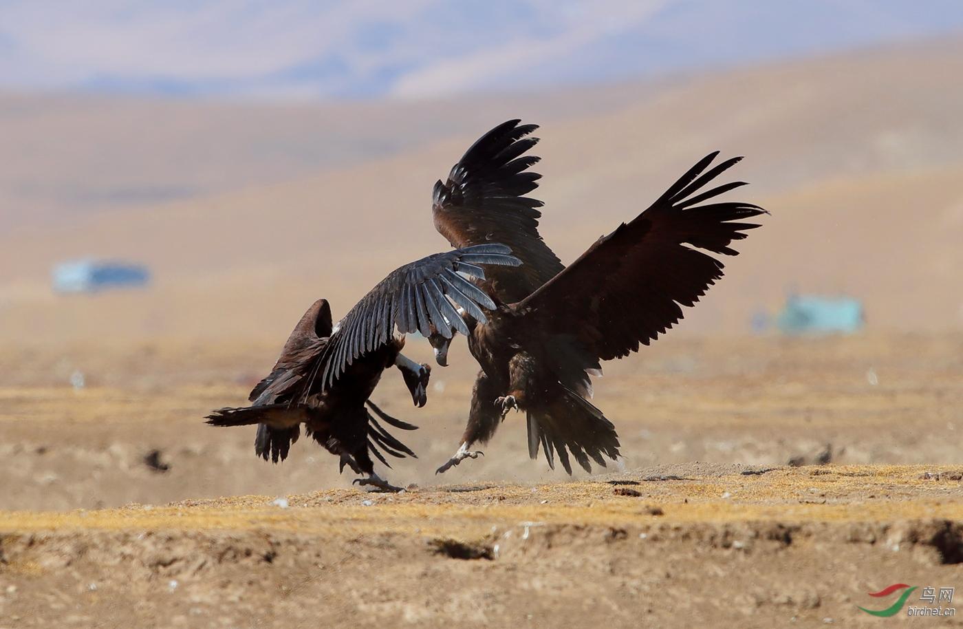 秃鹫.jpg