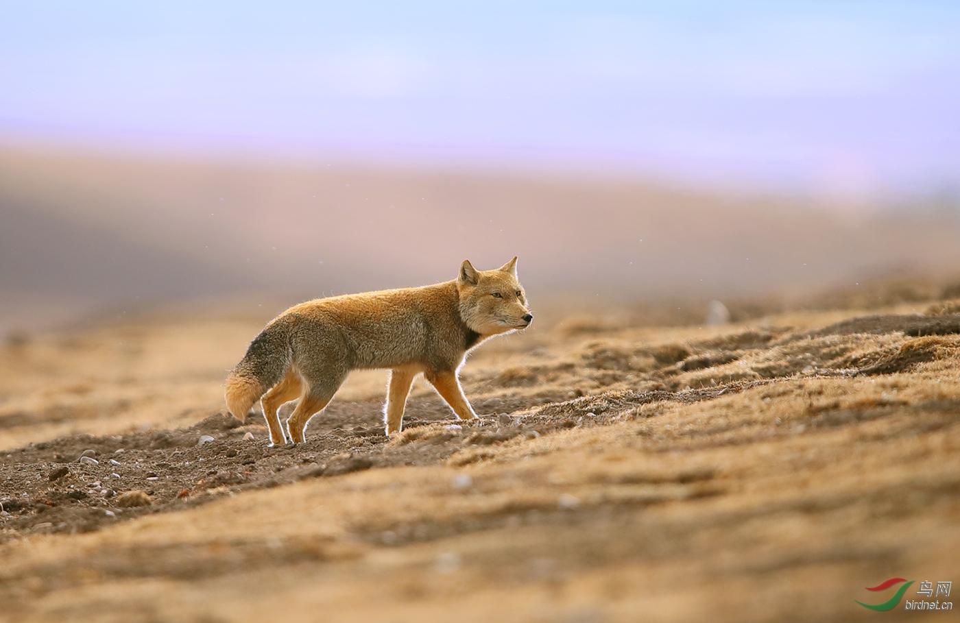 藏狐.jpg