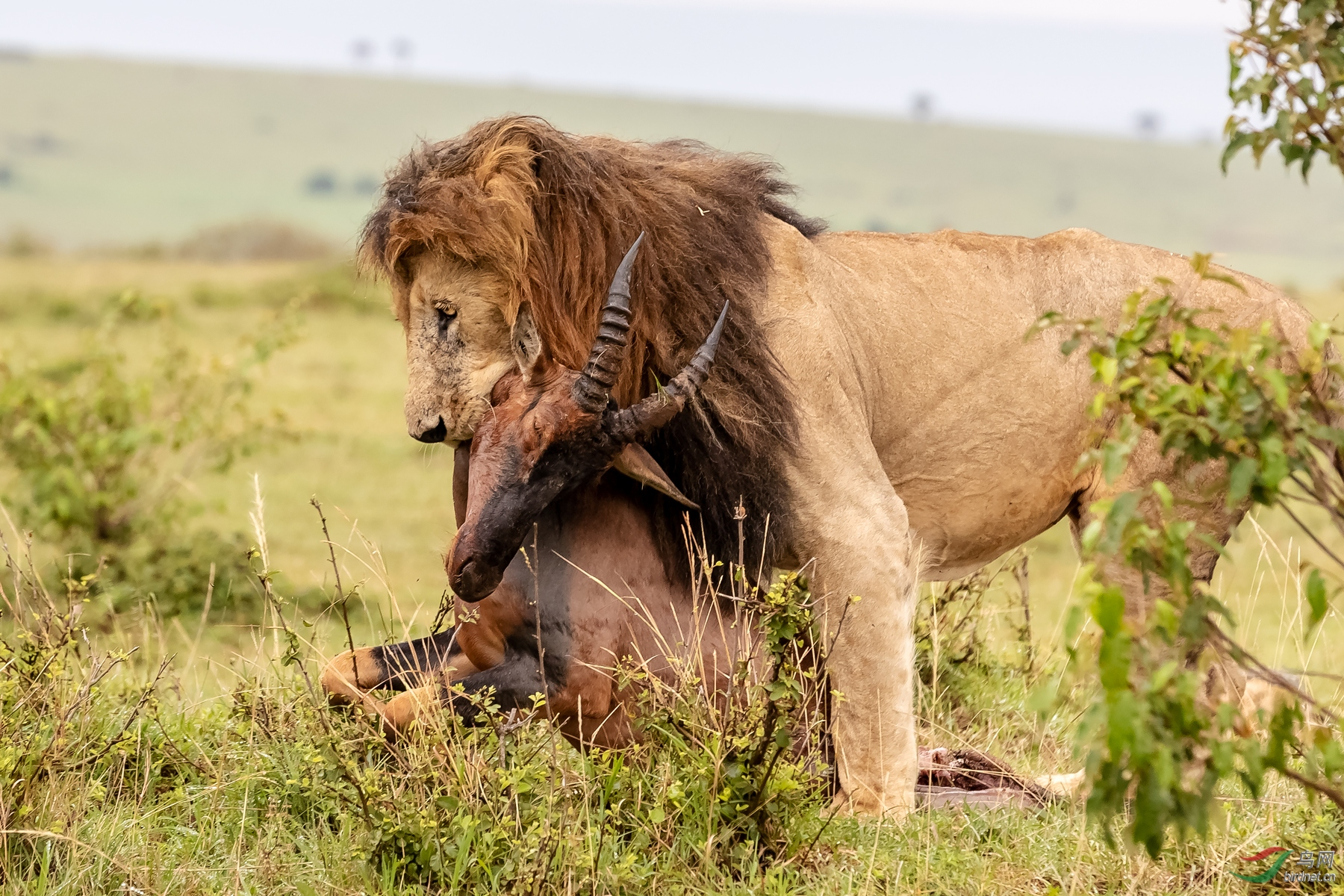 狮子营5877雄狮拖牛羚缩.jpg