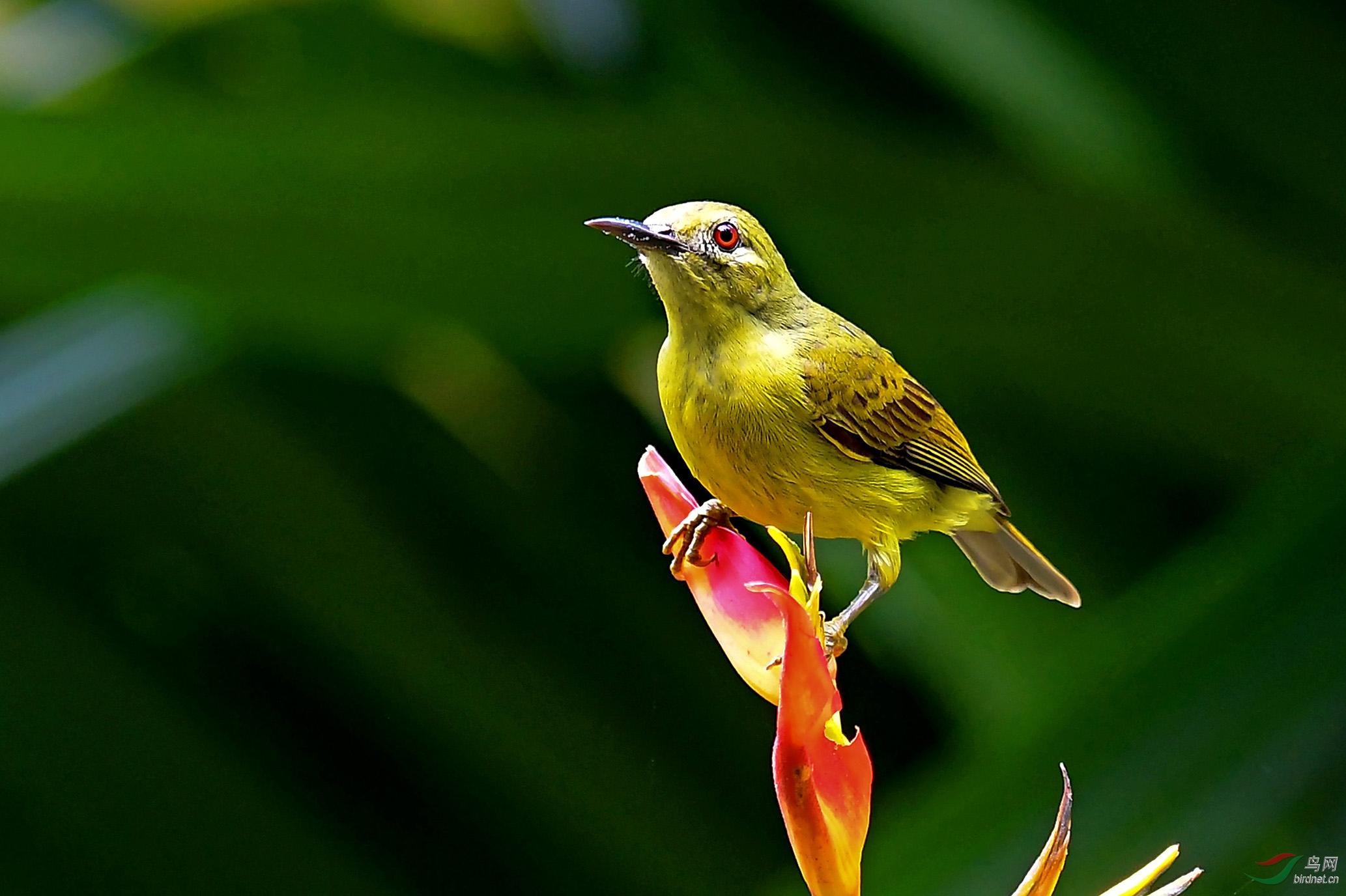 6.褐喉食蜜鸟(雌鸟1)3193AM.jpg