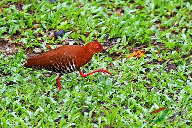 14.草地上的红腿秧鸡2287AM.jpg