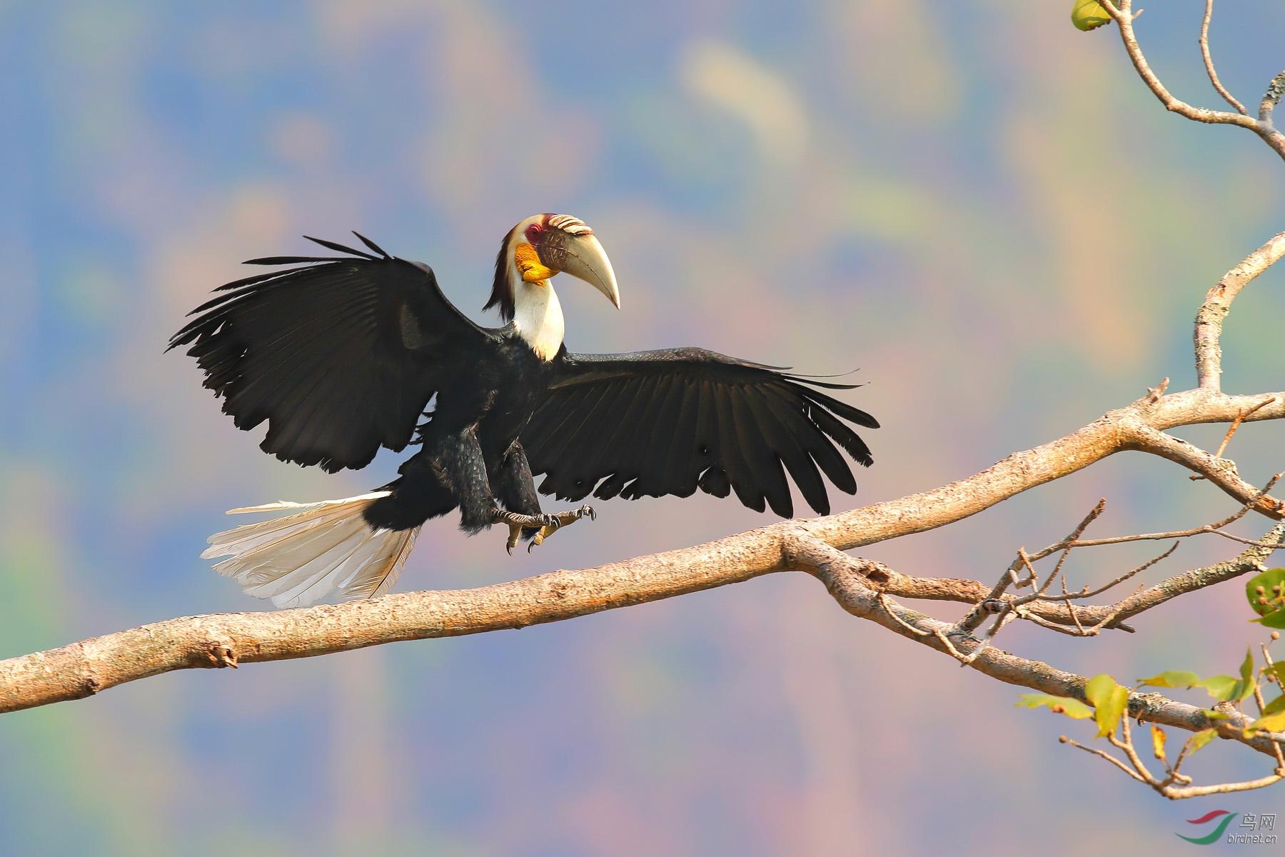 花冠皱盔犀鸟.jpg