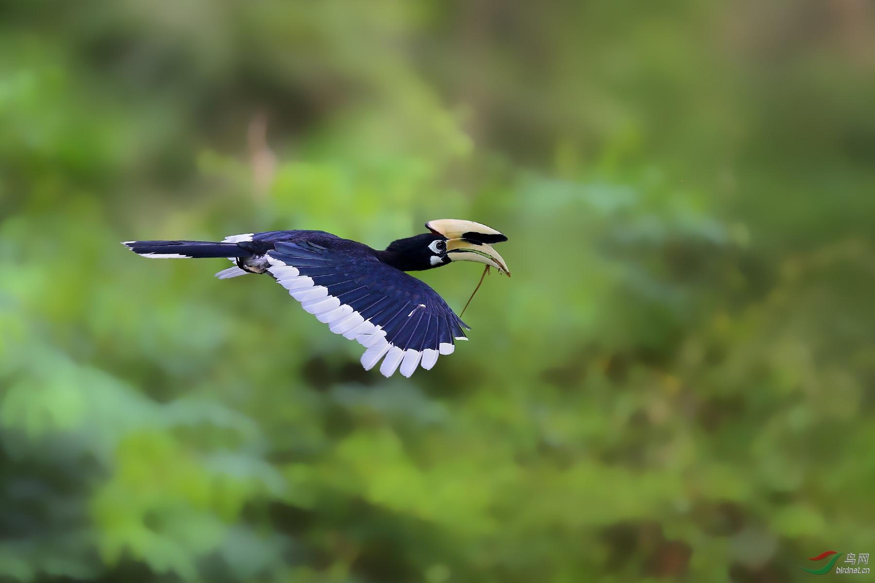 冠斑犀鸟.jpg