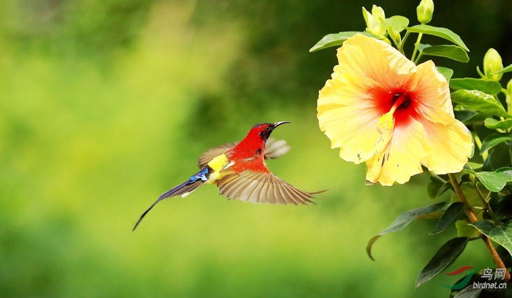 太阳鸟.jpg