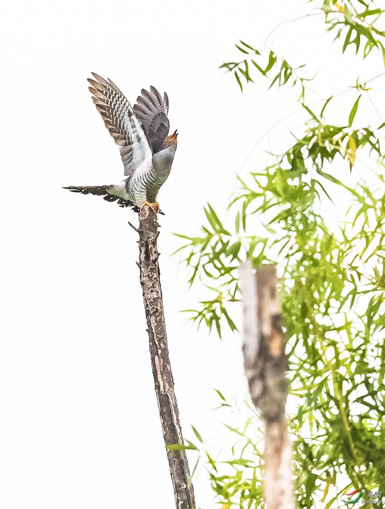 杜鹃正在寻找代育者的窝,突然发现一只大尾莺向自己扑来。