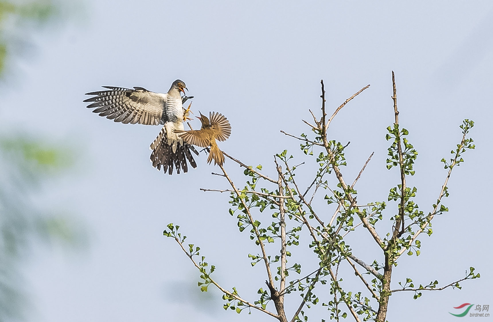 大尾莺不顾身小体弱,向杜鹃扑去,双方愤怒地对峙着。