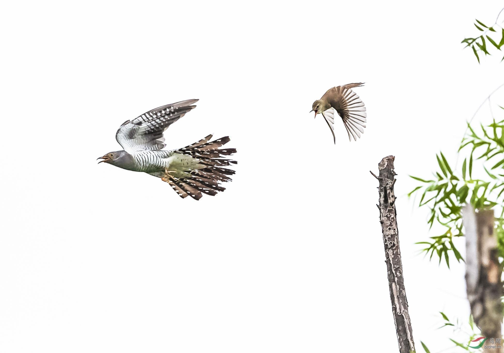 大尾莺以小博大,赶走了杜鹃,保卫了自己的家园,正义战胜了邪恶。