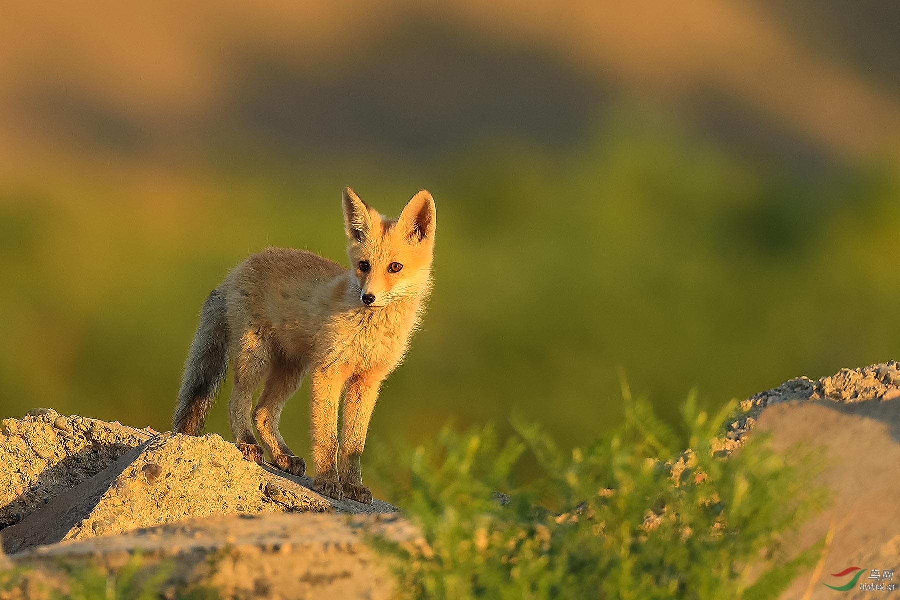狐狸BJ.jpg