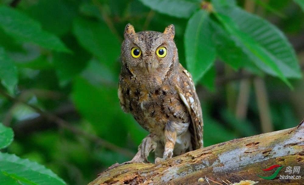 红脚鸮.jpg