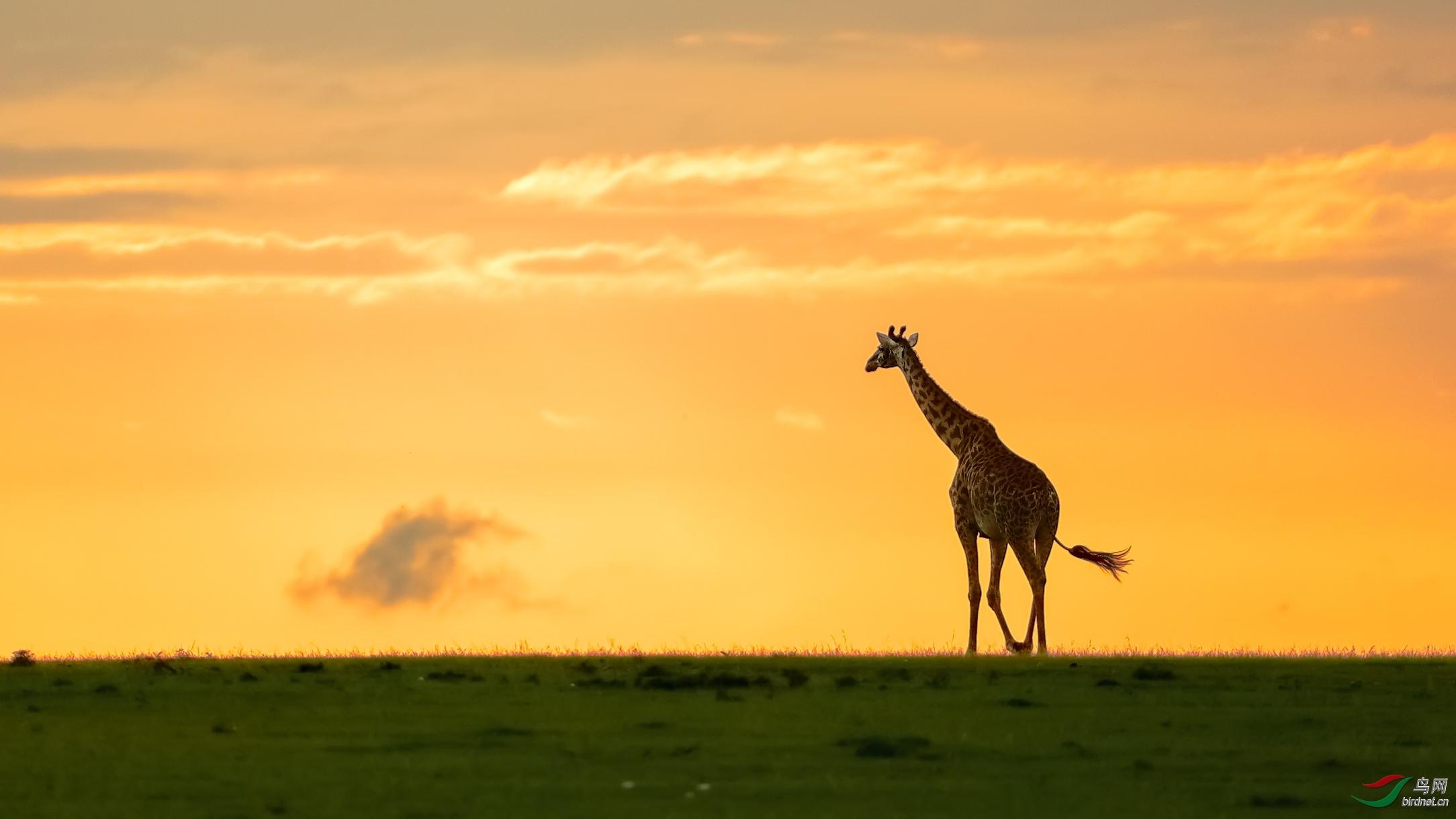 暮光下的长颈鹿.jpg