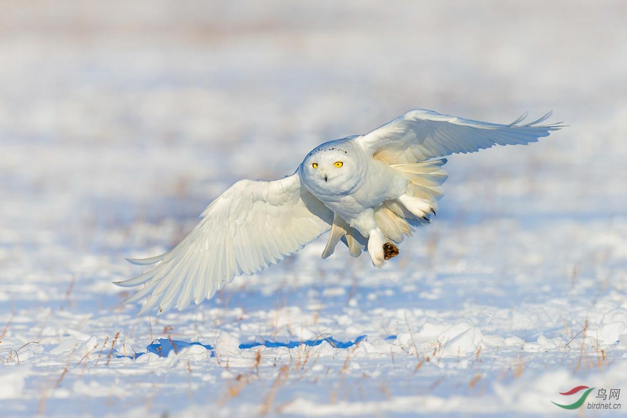雪鸮.jpg