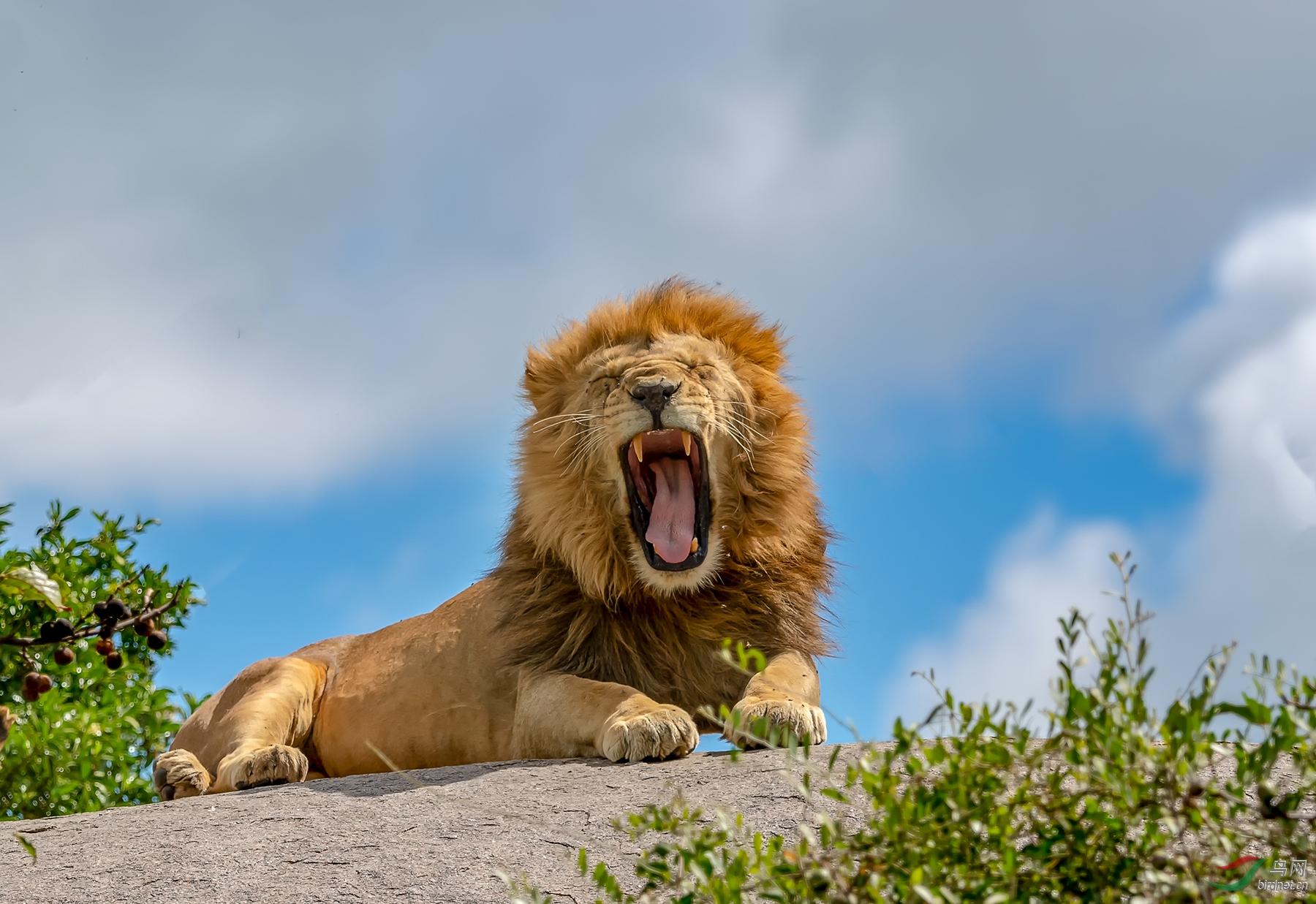 蓝天下的狮王.jpg