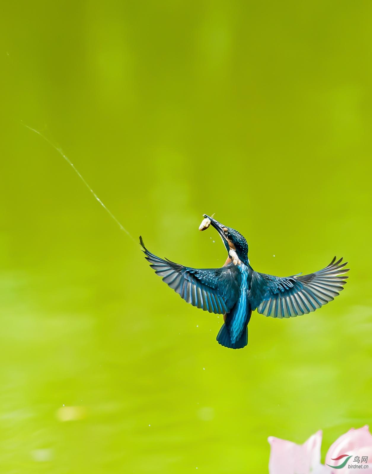 翠鸟.jpg