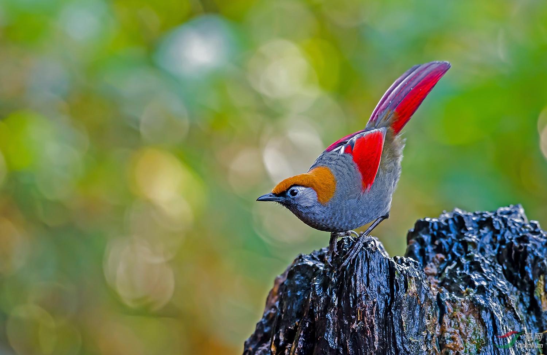 红尾噪鹛.jpg