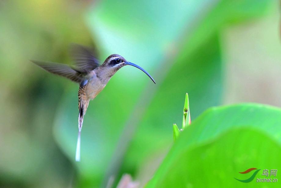 哥斯达黎加拍鸟之西长尾隐蜂鸟(恭贺老师佳作荣获首页