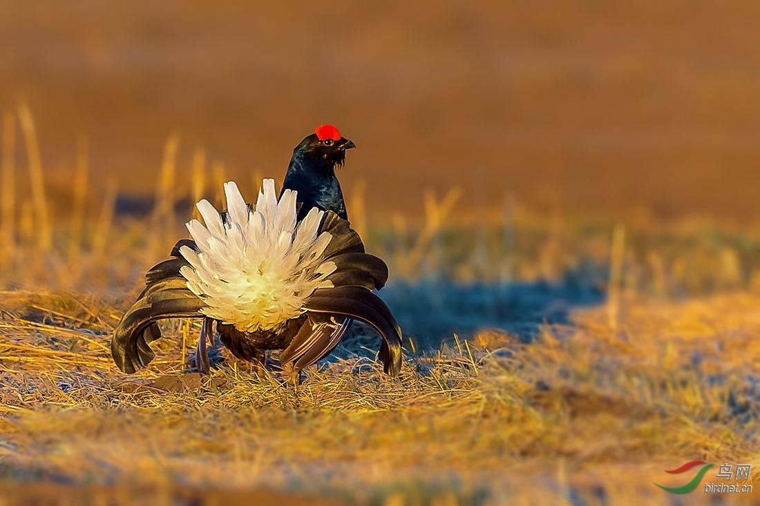 黑琴鸡1.jpg