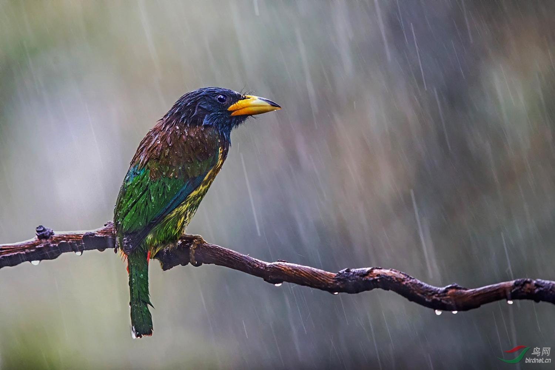 雨中的坚守——大拟啄木鸟