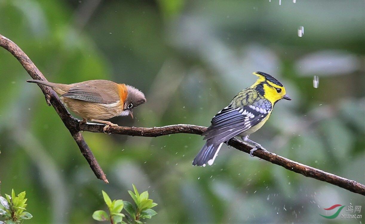 棕肛凤鹛和黄颊山雀.jpg