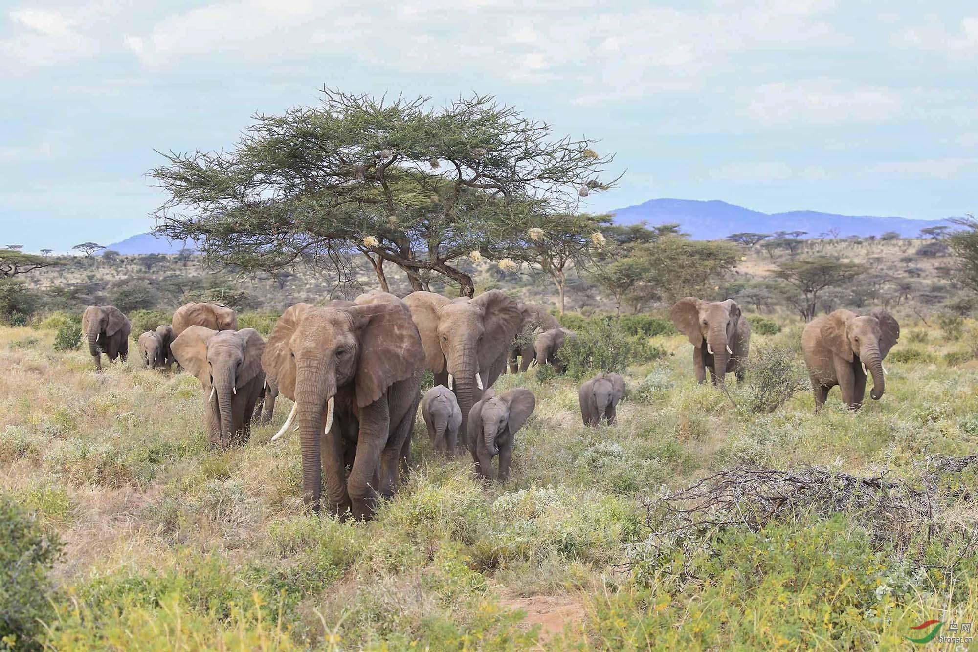 非洲大象【摄于肯尼亚】.jpg