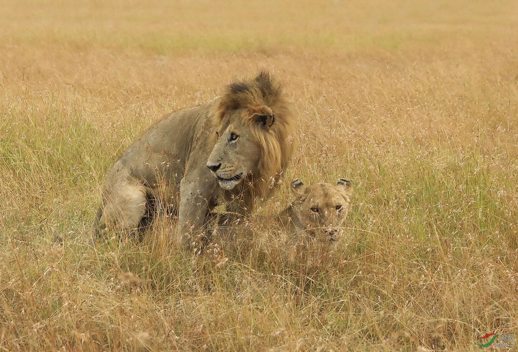 非洲狮【摄于肯尼亚】.jpg