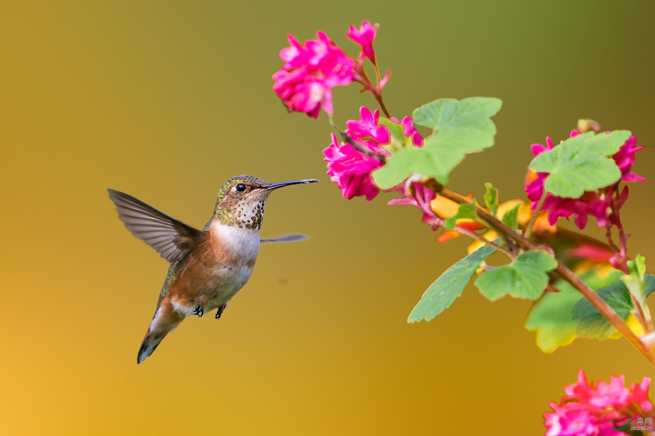 安氏蜂鸟---为津版加瓦!