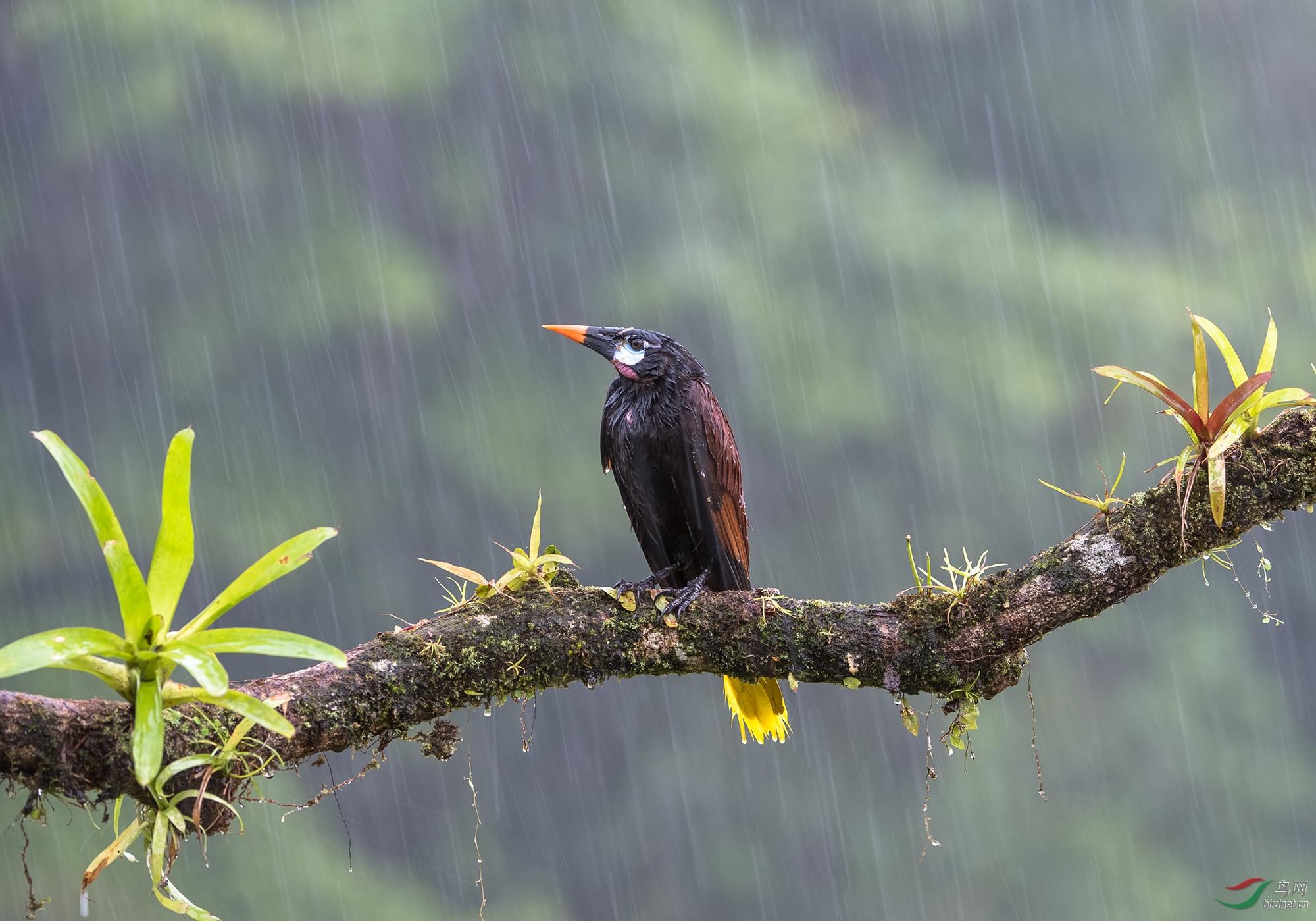 雨丝版褐拟椋鸟-6475.jpg