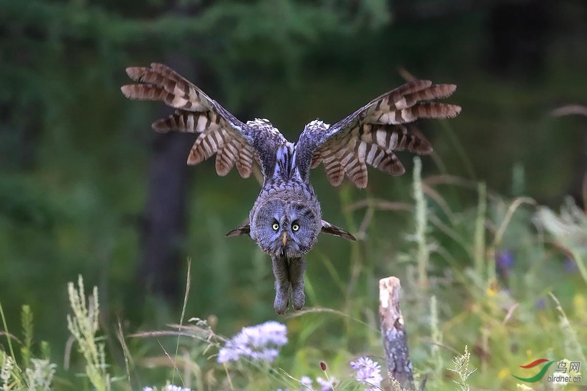 乌林鸮.jpg