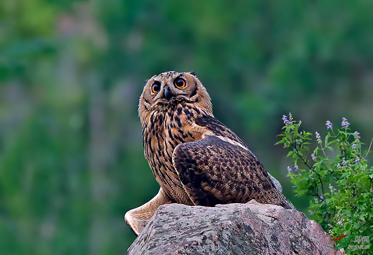 2011年7月雕鸮摄于北戴河.jpg