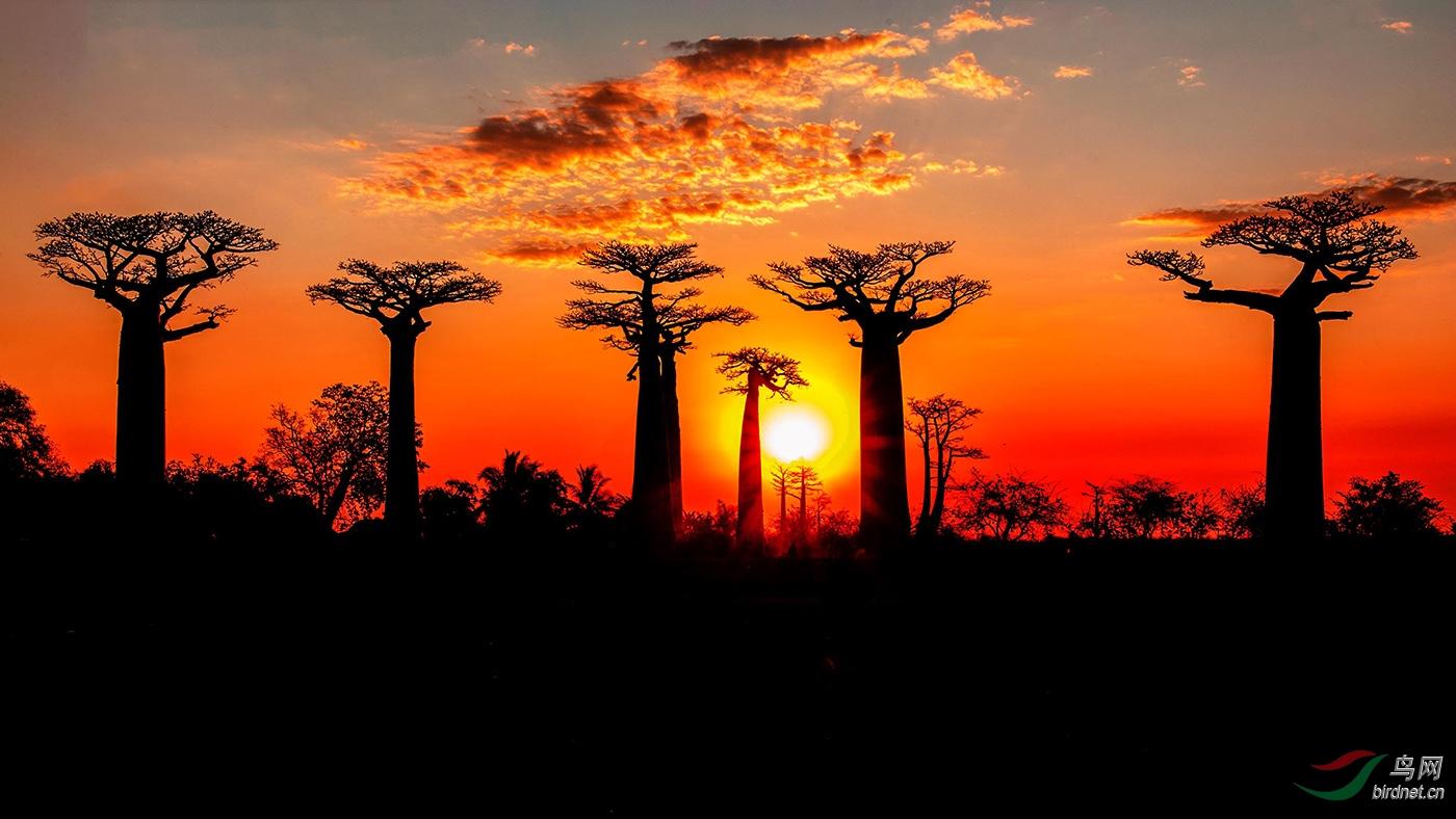 2013年9月面包树摄于马达加斯加.jpg