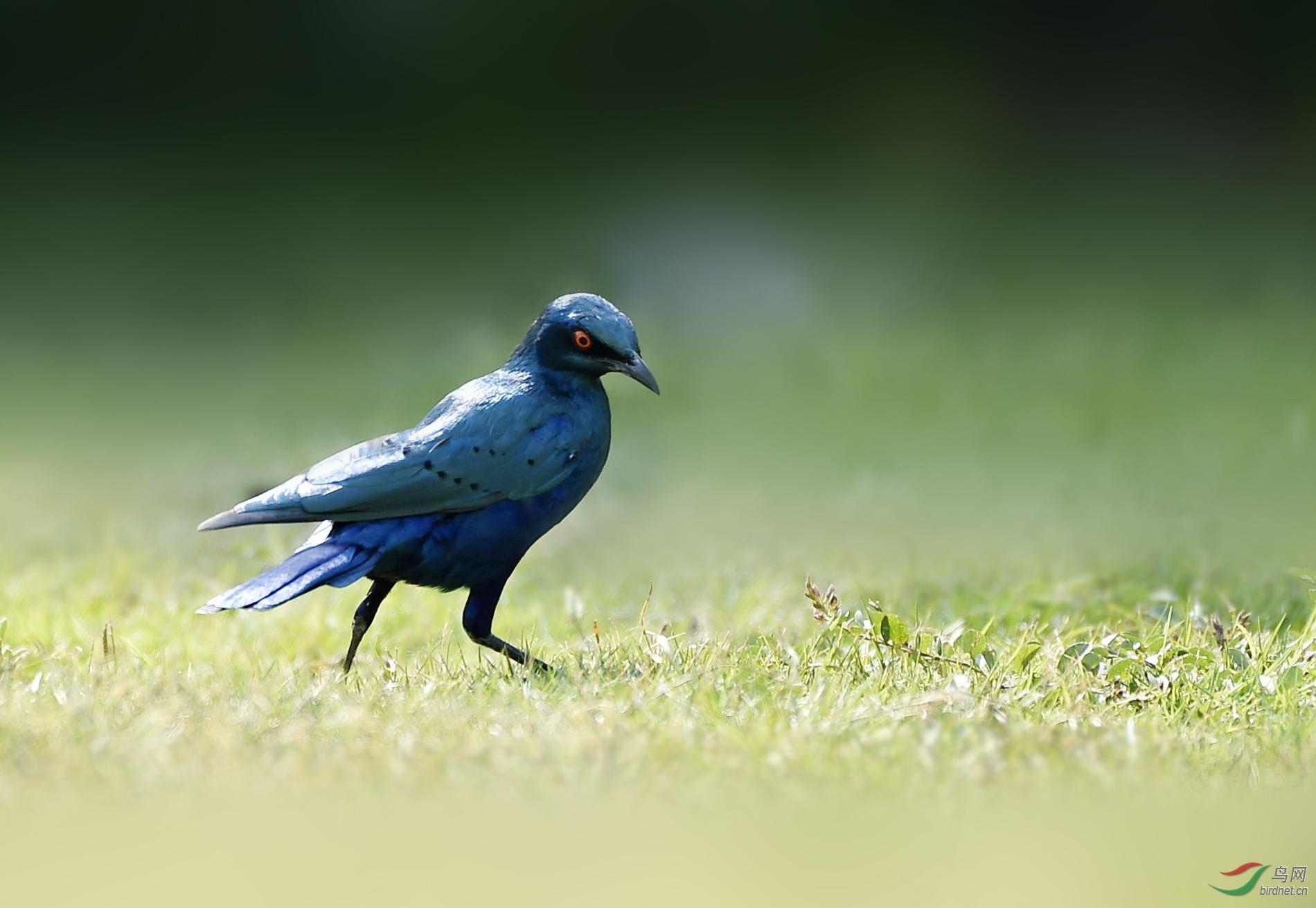 蓝耳丽椋鸟.jpg
