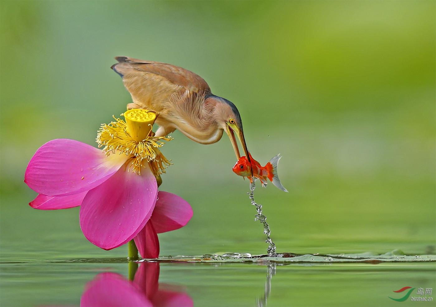 1.黄斑苇鳽的红色收获_真实野生鸟类.jpg