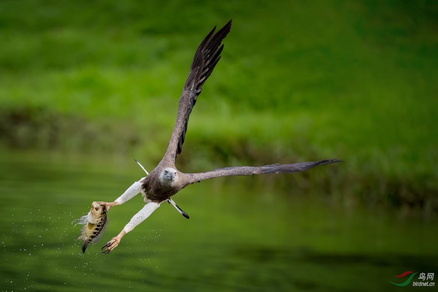 6.Gotcha - Grey-headed Fish Eagle( 渔归 - 灰头渔雕)_真实野生鸟类.jpg