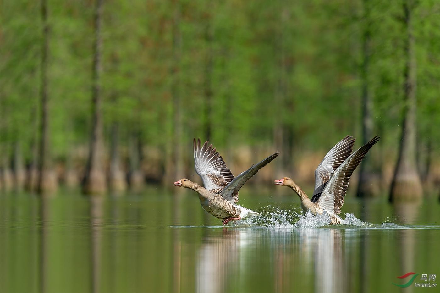 739.这对本该迁徙的灰雁被池杉湖良好的生态和优美的景色吸引已经在此安家繁衍.jpg