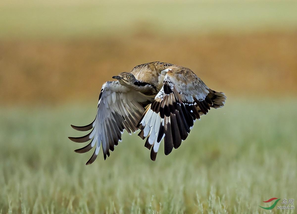 1043.波斑鸨—漂亮的飞姿.jpg