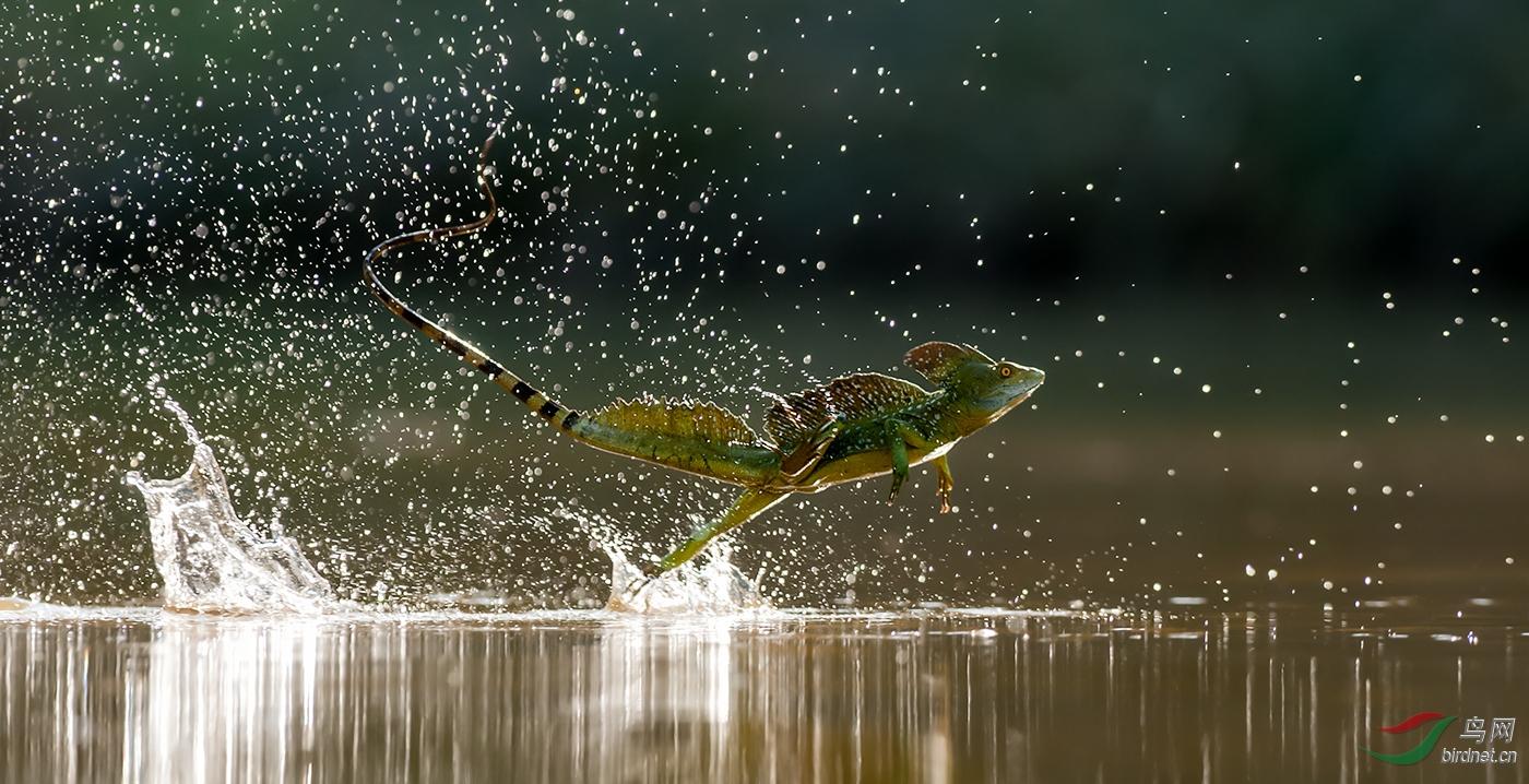 42.水上赛跑wxyAuthentic_Wildlife_Walking_On_Water.jpg