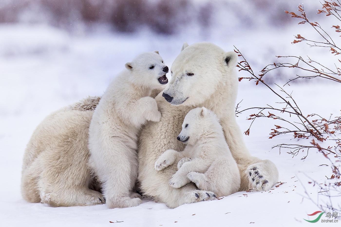 优秀HM-0164.四只北极熊wxy129-pic-5b9bd7b888d30.jpg