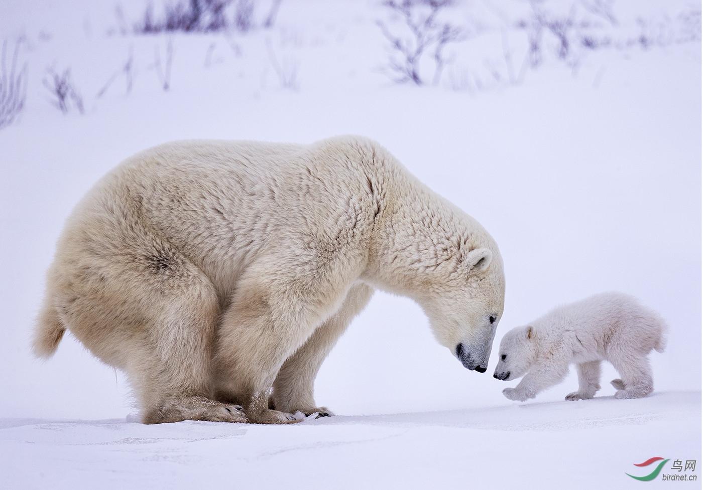.北极熊母子wxy129-pic-5b9bd79d8e71f.jpg