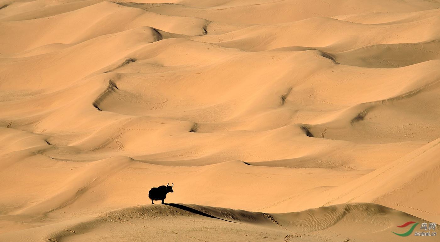 .沙漠中的野牦牛_真实野生动物.jpg