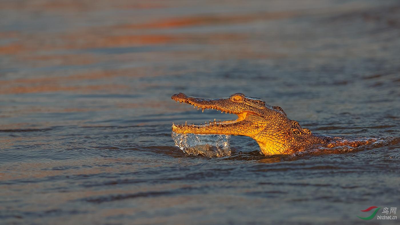 3.水中大鳄.jpg