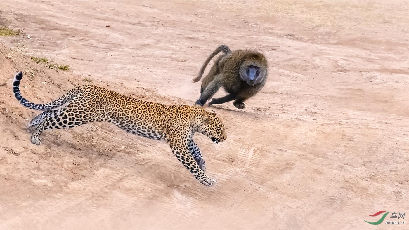 73.动物-狒狒猎花豹5280.jpg