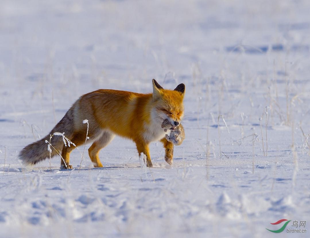 -0584.赤狐捕鼠.jpg