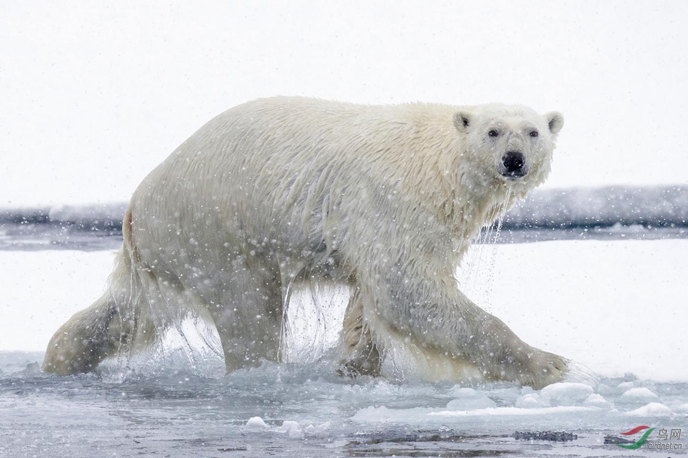 en-入围-0163.一只北极熊wxy129-pic-5b9bd7da8d833.jpg