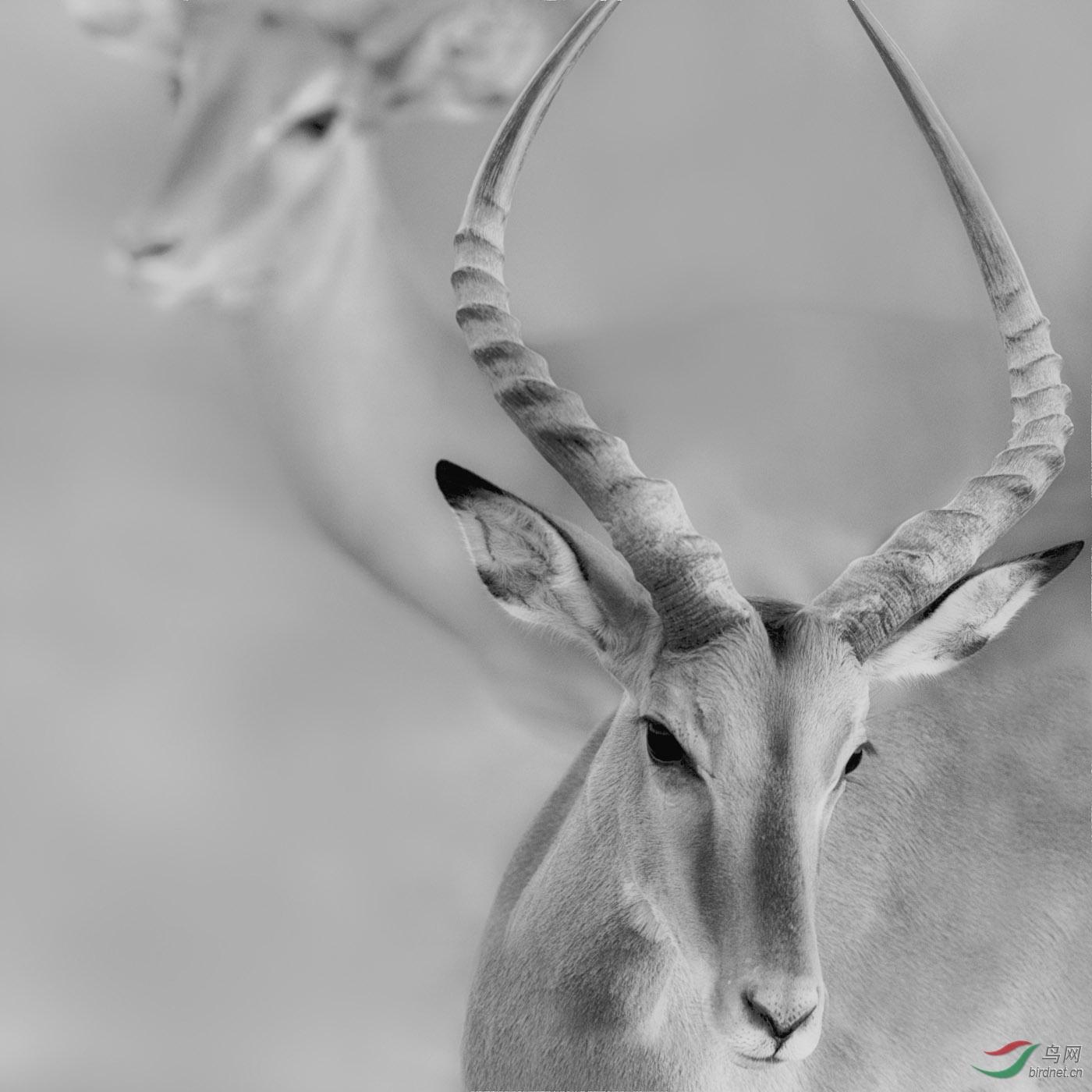 228.羚羊.jpg