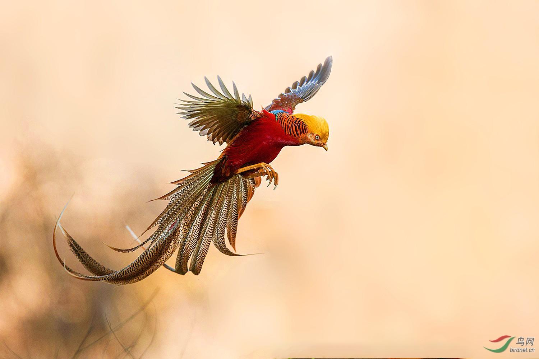 鸡展翅.jpg