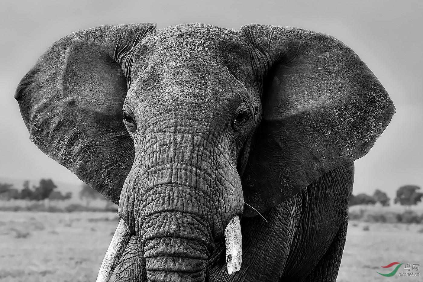 入围-1442.大象肖像wxy123-pic-5b8edfb4540f3.jpg