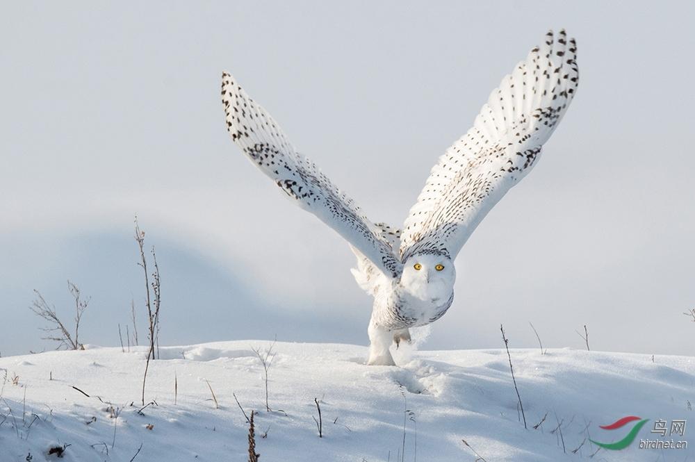 雪鸮 (2).jpg