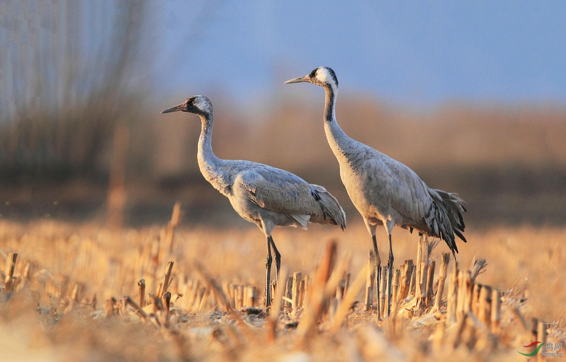 野鸭湖——-夕阳下的灰鹤